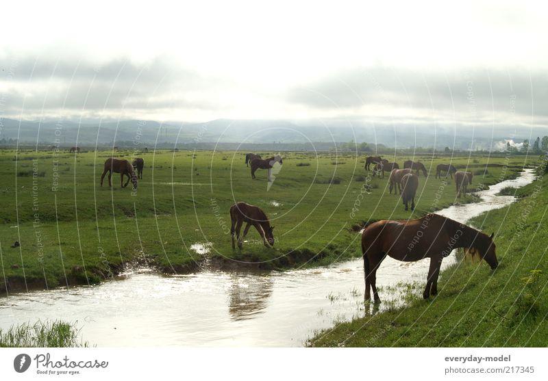Pferde im Morgenlicht Natur Landschaft Tier Erde Sommer Nebel Gras Wiese Bach Pferdeweide Tiergruppe Herde Erholung träumen positiv wild grün Stimmung