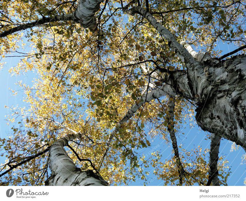 drei Birken... Umwelt Natur Pflanze Himmel Wolkenloser Himmel Herbst Schönes Wetter Blume Blatt Birkenblätter Herbstfärbung Baumstamm Baumrinde Zweig stehen