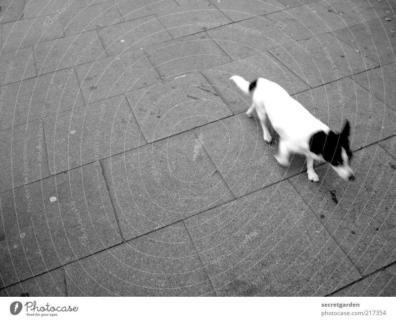 [HH 10.1] vorbeilaufende photo-beagle in eimsbüttel :-) weiß schwarz Tier grau Hund Zeit rennen Fell Bürgersteig Haustier Eile Momentaufnahme unterwegs