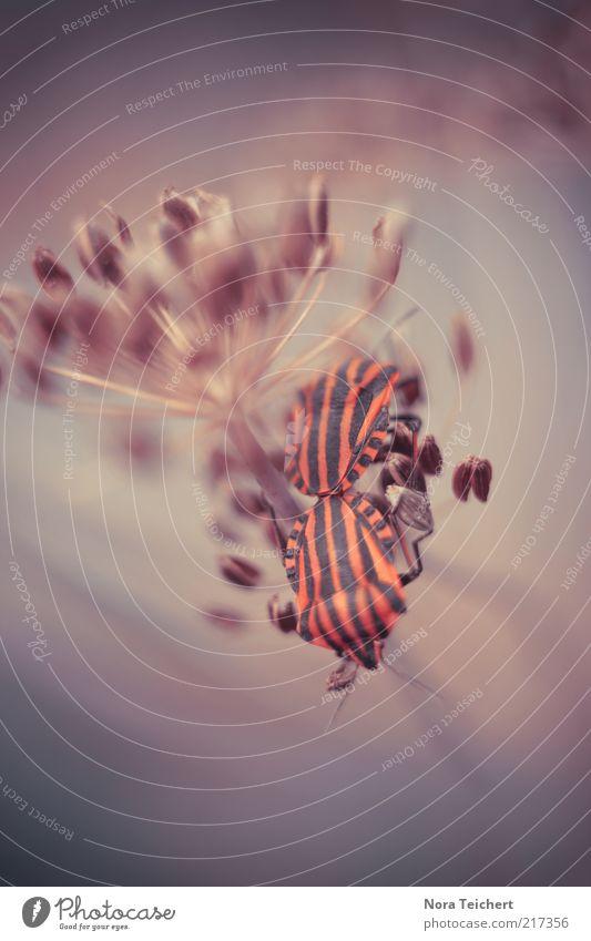 Zusammen ist man weniger allein. Natur Pflanze Blume Tier Umwelt Blüte Tierpaar Streifen bizarr gestreift Käfer Makroaufnahme Fortpflanzung fremdartig Experiment Perspektive