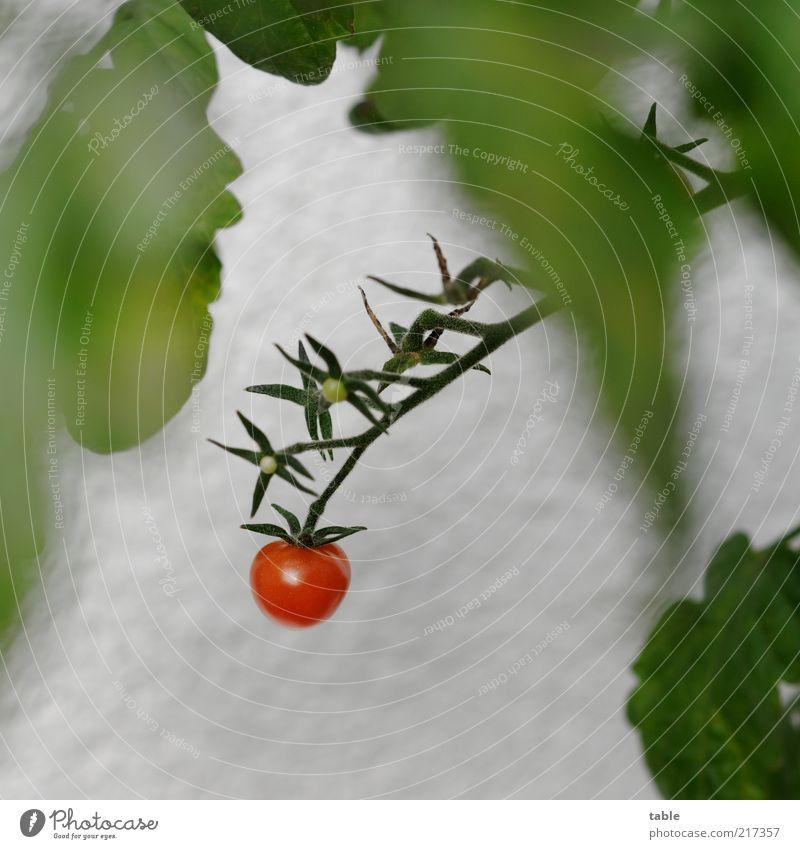 home-grown Lebensmittel Gemüse Tomate Bioprodukte Vegetarische Ernährung Natur Pflanze Sträucher Blatt Nutzpflanze hängen Wachstum ästhetisch lecker grün rot