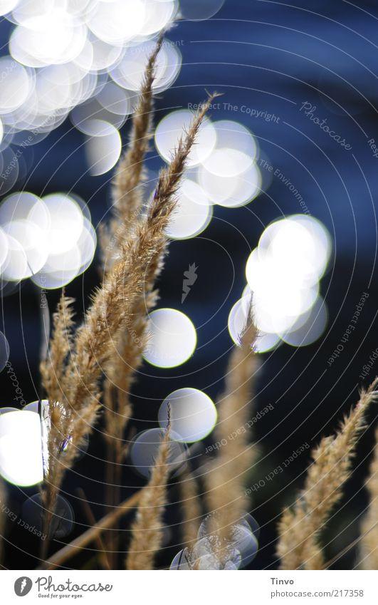 draußen am See Natur Wasser weiß blau Blüte Gras braun glänzend Schilfrohr Seeufer abstrakt Bildausschnitt Lichtpunkt Blendenfleck Reflexion & Spiegelung