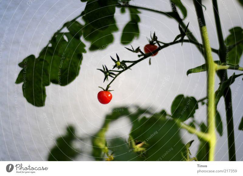 Minirispentomaten an Pflanze Natur Blatt Nutzpflanze lecker rund saftig grün rot weiß Tomate Cocktailtomate Frucht Gemüse Stengel Ernte Strauchtomate Farbfoto