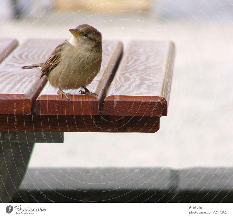 Pillnitzer Spatz No.2 Tier Holz grau Zufriedenheit Vogel warten klein frei sitzen Tisch leer weich Flügel beobachten Idylle Neugier