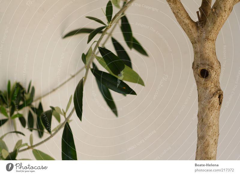 Olivenbaum schmollt im Herbst Pflanze Baum Grünpflanze Nutzpflanze Wachstum schön braun grün Pflanzenteile Farbfoto Textfreiraum unten Menschenleer