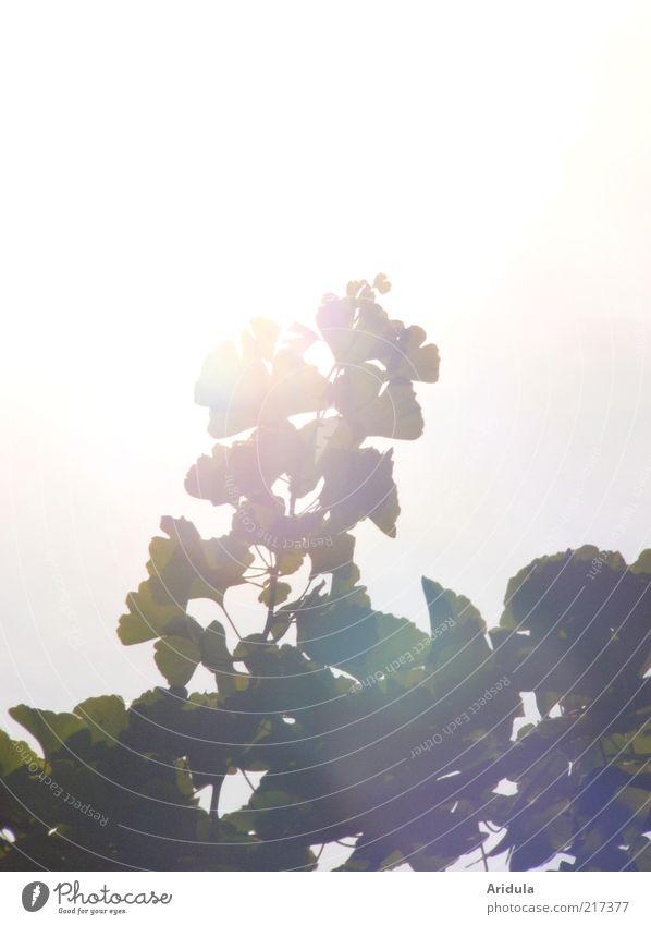 Ginkgo Natur Landschaft Pflanze Sommer Herbst Wetter Wind Baum Blatt atmen Erholung leuchten träumen Wachstum ästhetisch Gesundheit stark weiß Stimmung Kraft
