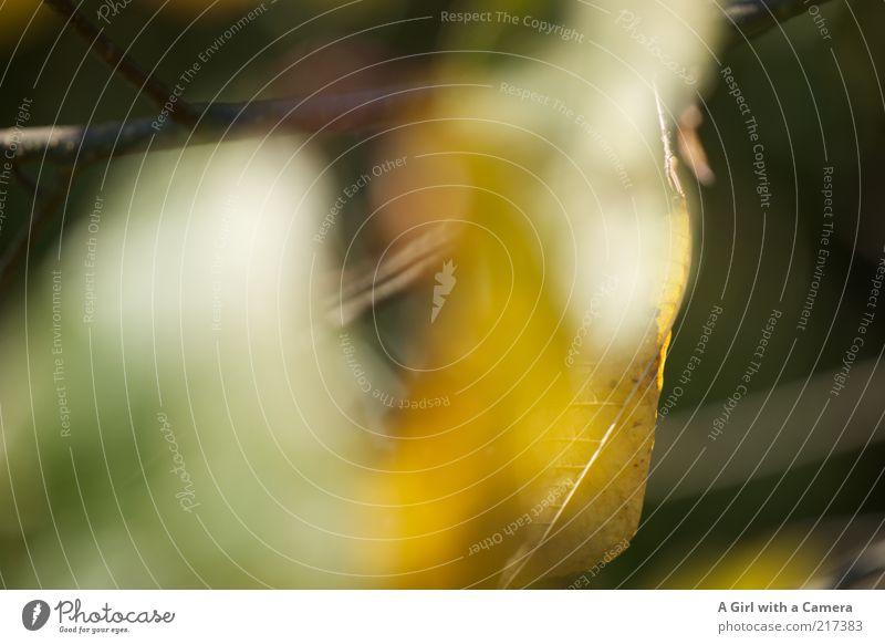 Unscharf ist das neue Scharf! Natur schön grün Pflanze Blatt gelb Herbst gold einfach Vergänglichkeit natürlich Zweig Experiment