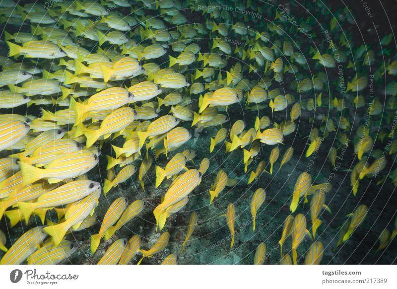 NACHTS Natur Wasser Ferien & Urlaub & Reisen ruhig gelb dunkel Fisch Reisefotografie unten tauchen entdecken Im Wasser treiben Kuba Malediven Schwarm Karibisches Meer