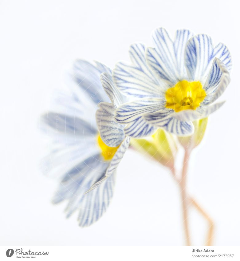 Blau weiß gestreifte Primeln Natur Pflanze blau Blume Erholung Blatt ruhig Leben Blüte Frühling Innenarchitektur Garten außergewöhnlich Design Zufriedenheit