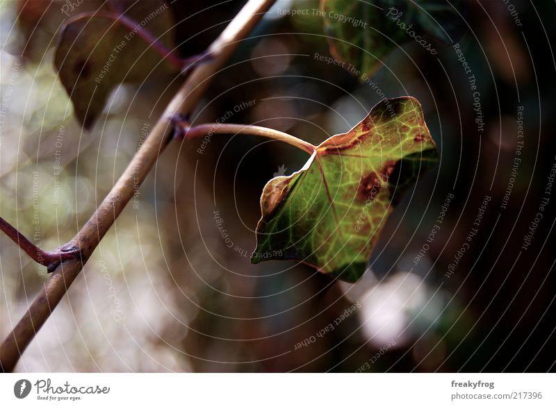 """""""Ich bin dir treu"""" Leben Natur Herbst Efeu braun grün Blatt Farbfoto Außenaufnahme Nahaufnahme Unschärfe Schwache Tiefenschärfe Zweig Menschenleer Totale"""