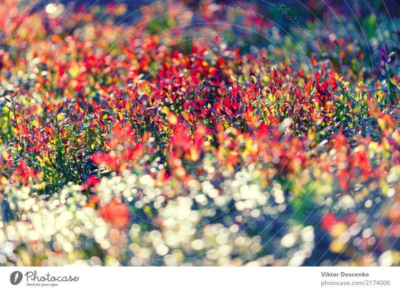Mehrfarbige Büsche im Wald Natur Pflanze Farbe schön grün Sonne Baum rot Blatt Winter gelb Herbst natürlich Garten braun