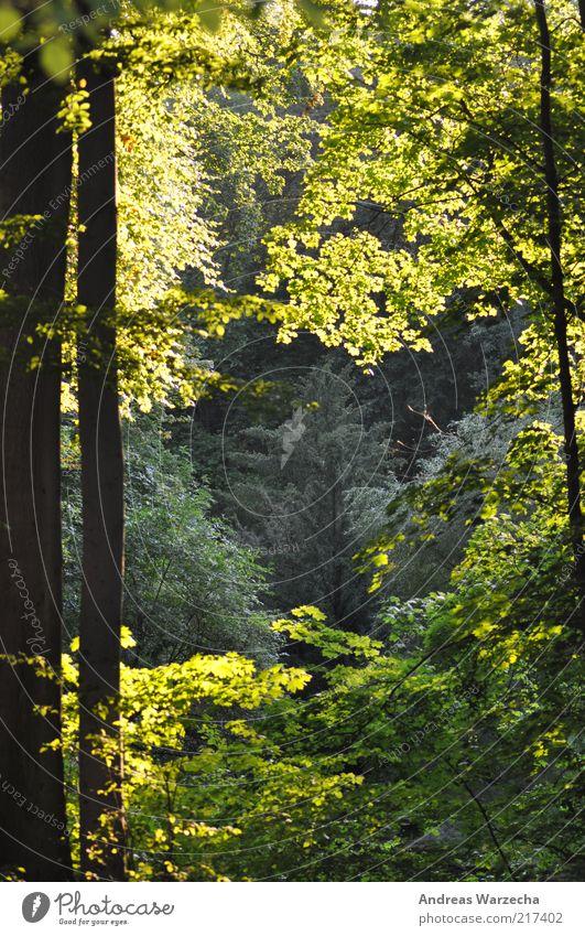 Sonnenbad Umwelt Natur Landschaft Sonnenlicht Sommer Schönes Wetter Baum Park Wald Holz Wäldchen Blatt fantastisch frei hoch braun mehrfarbig grün ruhig hell