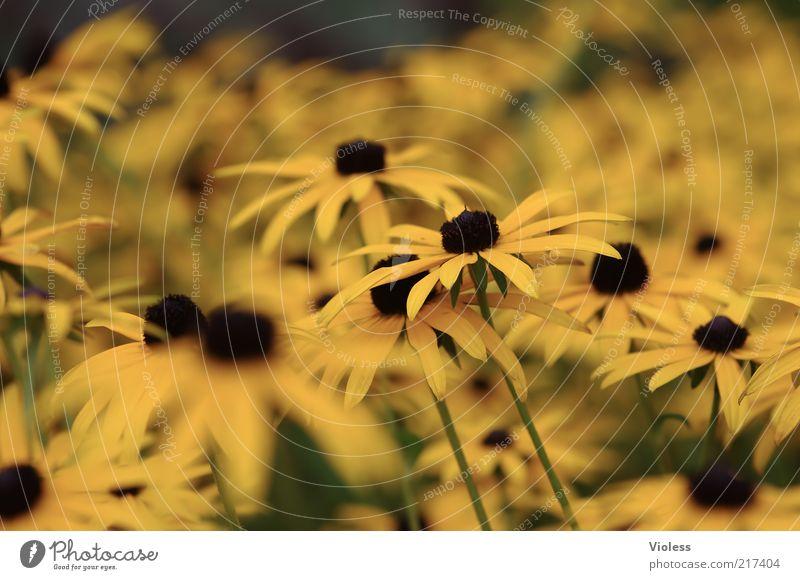 Sonnenhut Natur Blume Pflanze gelb Herbst natürlich Duft viele