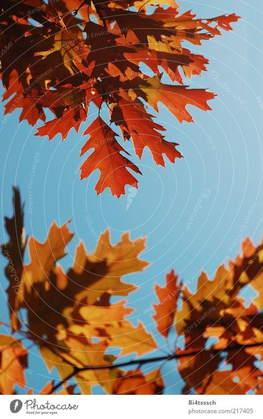 Warmer Herbst II Natur schön Himmel Baum blau rot gelb Herbst braun Umwelt Schönes Wetter Klimawandel herbstlich Wolkenloser Himmel Herbstfärbung Eichenblatt
