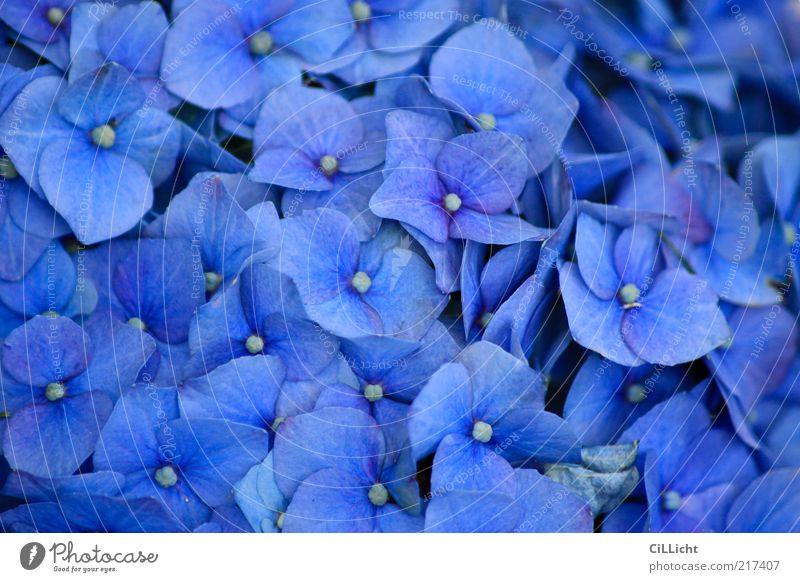 blau blau blüht... Natur schön Pflanze Blume Umwelt Blüte natürlich frisch ästhetisch viele weich Blumenstrauß Duft trendy exotisch