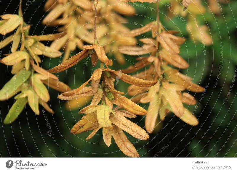Propellerblatt Natur Baum Pflanze Blatt Erholung Herbst Blüte braun Umwelt Grünpflanze dehydrieren