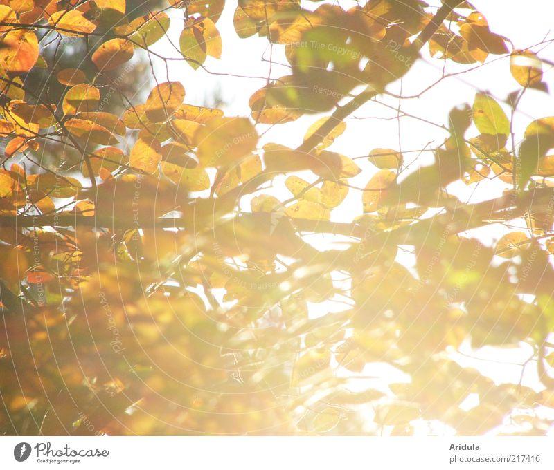 Herbstsonne Umwelt Natur Landschaft Pflanze Sträucher Blatt glänzend leuchten dehydrieren hell schön braun gelb gold Stimmung genießen Erholung Vergänglichkeit