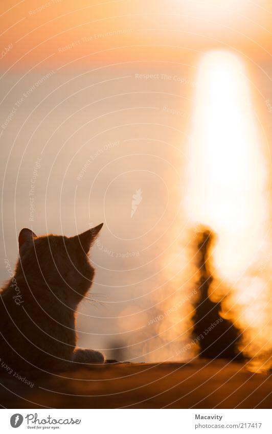 Abendbetrachtung Sonne Meer Ferien & Urlaub & Reisen Ferne gelb Erholung Gefühle träumen Katze Wärme Zufriedenheit orange warten gold Horizont Kitsch
