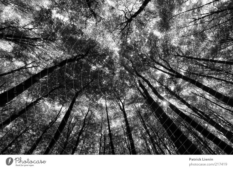 forest view Umwelt Natur Landschaft Pflanze Sommer Klima Wetter Baum Wald Urwald Stimmung Baumstamm Blätterdach Weitwinkel schwarz hell schön Kontrast Märchen