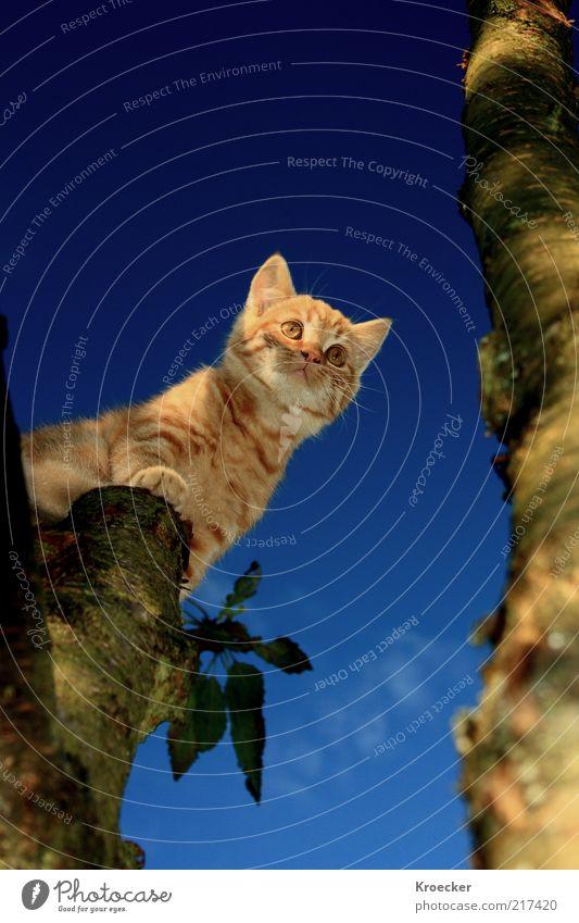 Sputnik Himmel blau Baum Einsamkeit Tier oben Denken Katze braun orange Mut Baumstamm Schönes Wetter Haustier Weisheit klug