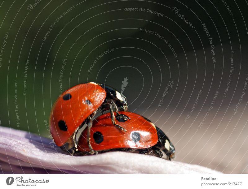 Für Miss X und sylvi.bechle Umwelt Natur Tier Sommer Wildtier Käfer 2 Tierpaar hell natürlich rot schwarz Insekt Marienkäfer Farbfoto mehrfarbig Außenaufnahme
