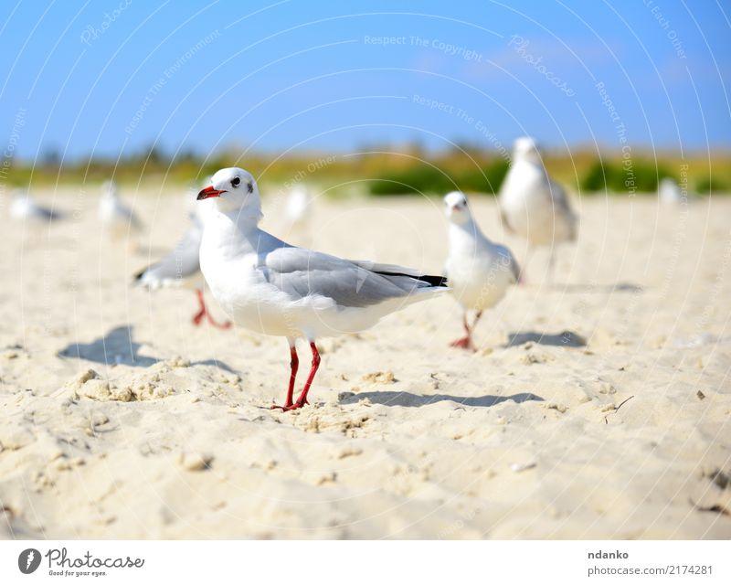 weiße Möwe Spaziergänge entlang des Sandstrandes Freiheit Sommer Sonne Strand Meer Natur Landschaft Tier Himmel Küste Vogel Tiergruppe frei natürlich wild blau