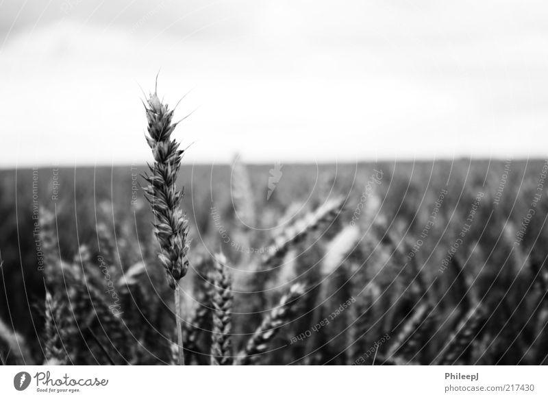 Mais Umwelt Natur Pflanze Sommer Feld Armut entdecken Freiheit Unendlichkeit Schwarzweißfoto Außenaufnahme Nahaufnahme abstrakt Menschenleer Morgen Tag Licht
