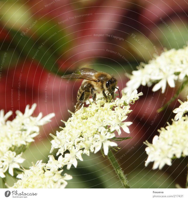 bienen und blumen Natur Sommer Pflanze Blume Tier Nutztier Biene Flügel 1 krabbeln weiß Sammlung fleißig Nektar Farbfoto mehrfarbig Außenaufnahme Nahaufnahme