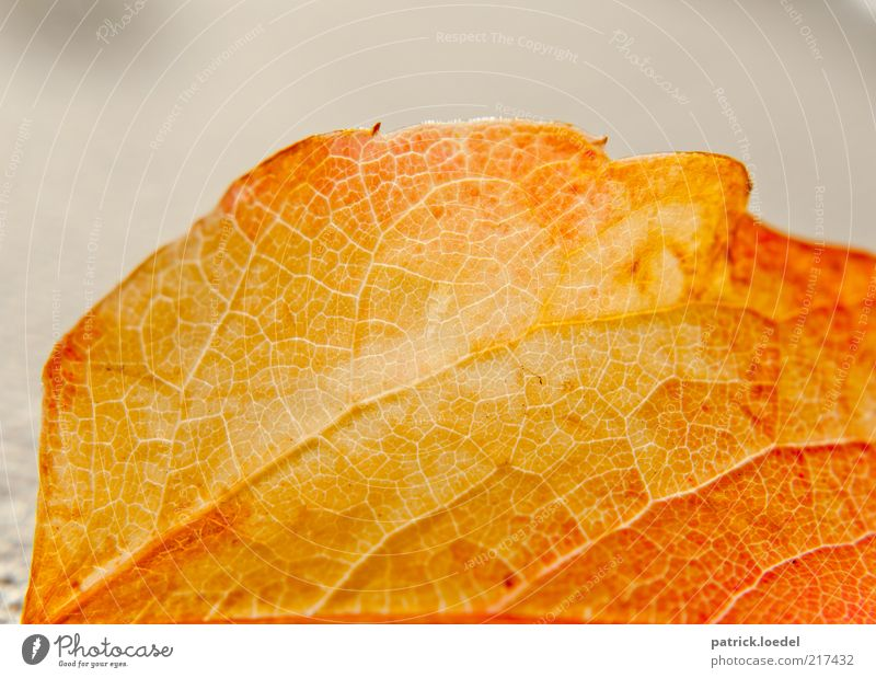 Lifelines Natur alt Pflanze Blatt gelb Herbst Hintergrundbild gold ästhetisch Vergänglichkeit Anschnitt Bildausschnitt Blattadern Herbstlaub welk
