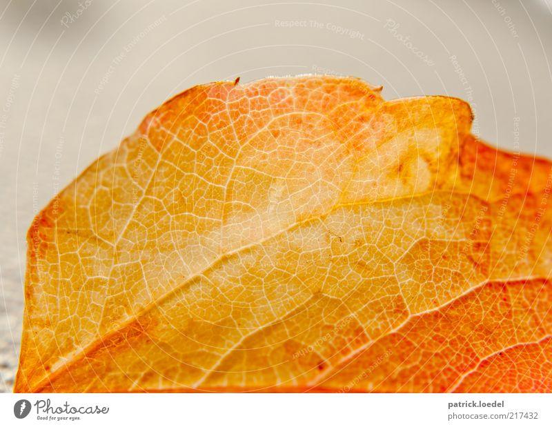 Lifelines Natur Pflanze Herbst Blatt alt dehydrieren ästhetisch gelb Strukturen & Formen Vergänglichkeit gold Farbfoto Innenaufnahme Nahaufnahme Detailaufnahme