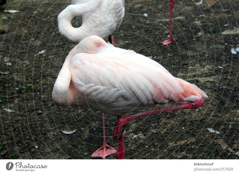 Flamingo schläft Natur weiß Tier Vogel rosa schlafen Feder kopflos einbeinig
