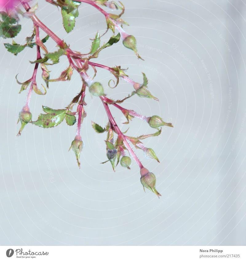 Schneeröschen schön Umwelt Natur Pflanze Sommer Blume Rose Blatt Blüte Grünpflanze Wildpflanze ästhetisch Außenaufnahme Detailaufnahme Freisteller