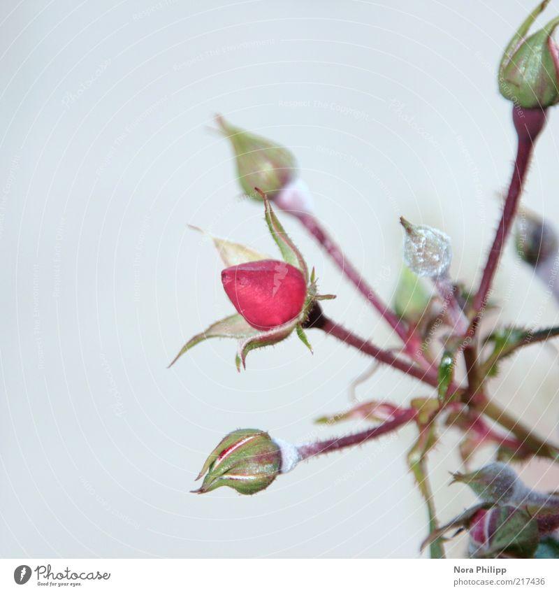 Rosaröschen Natur schön Pflanze Sommer Blume Blatt kalt Umwelt Blüte rosa frisch Wachstum Sträucher Rose Romantik Blühend