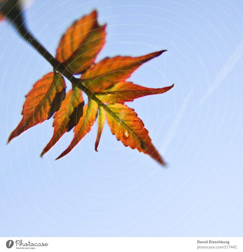 Ein genialer Herbst Natur blau Pflanze Blatt Luft orange Schönes Wetter Jahreszeiten diagonal Zweig Herbstlaub Wolkenloser Himmel Blauer Himmel herbstlich