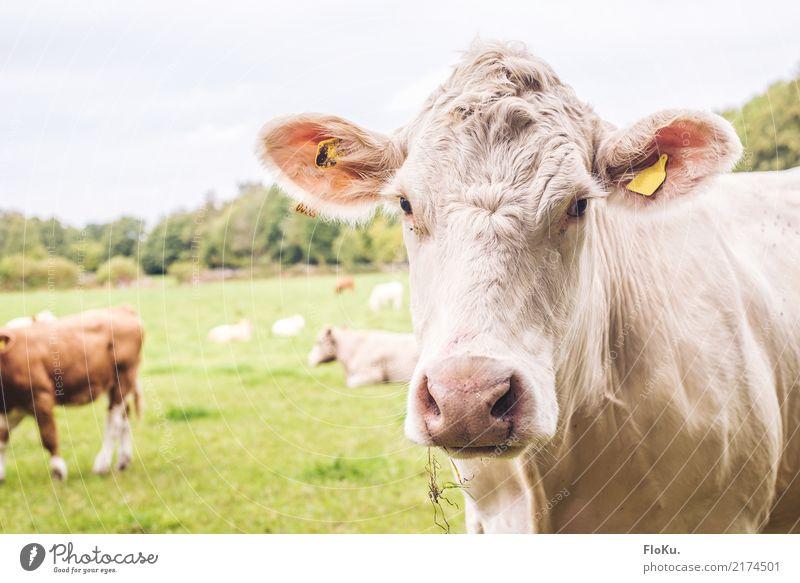 Muuuh Ferien & Urlaub & Reisen Umwelt Natur Tier Sommer Wiese Feld Nutztier Kuh Tiergesicht 1 Herde Freundlichkeit natürlich grün weiß Stimmung