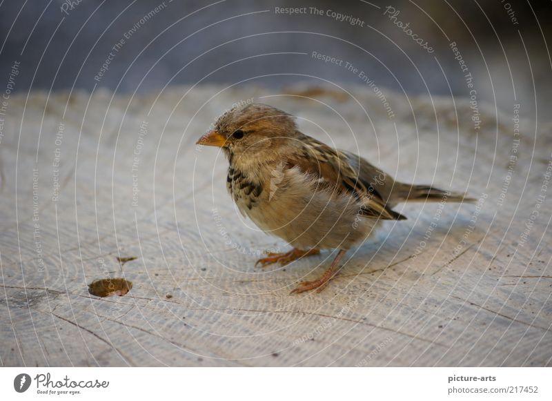 Spatz Natur Tier grau braun Vogel Feder Flügel Wildtier Baumstamm Schnabel Maserung Jahresringe Sperlingsvögel