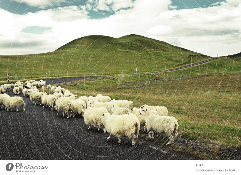 Herdentrieb Himmel Natur Sommer Tier Wolken Landschaft Ferne Umwelt Wiese Straße Wege & Pfade laufen Tiergruppe Spaziergang Ziel Hügel