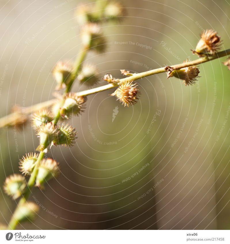 stacheliger herbst Umwelt Natur Pflanze Sträucher exotisch grün Stachel Farbfoto Außenaufnahme Nahaufnahme Detailaufnahme Makroaufnahme Textfreiraum rechts