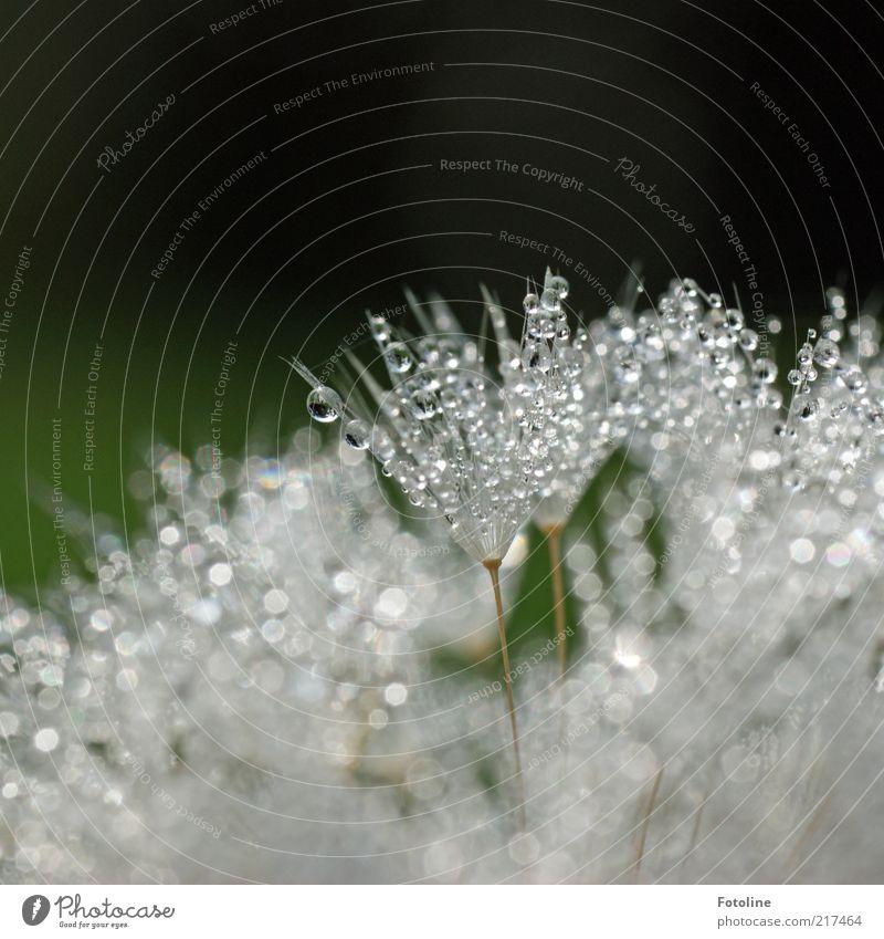 Tröpfchen Natur Wasser weiß grün Pflanze Blume Umwelt hell nass Wassertropfen natürlich Urelemente Tropfen feucht Löwenzahn Tau