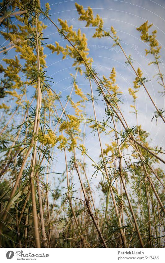 summer again Umwelt Natur Pflanze Urelemente Luft Himmel Wolkenloser Himmel Sommer Klima Wetter Schönes Wetter Blume Sträucher Blatt Grünpflanze Wildpflanze