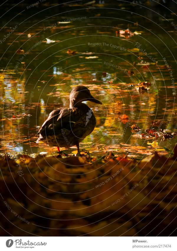 Herbst II Natur Wildtier Vogel Flügel 1 Tier Schwimmen & Baden gelb gold rot Ente Erpel Blatt See Schnabel Feder Silhouette Profil Schatten Zoomeffekt Sonne