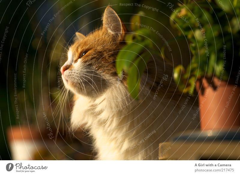 Schnippsi Tier Haustier Katze Fell 1 Erholung genießen Blick warten Freundlichkeit schön weiß Gelassenheit Pflanze Orange Sonnenbad Schnurren Schnurrhaar