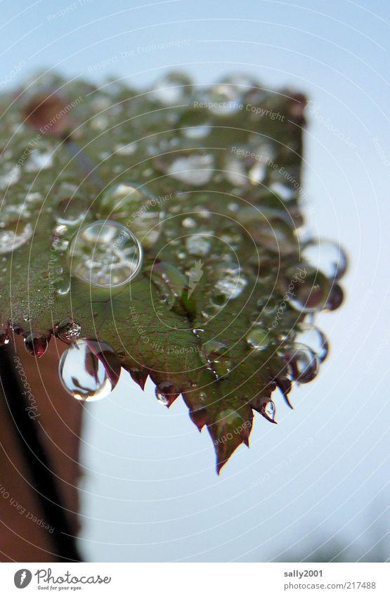 dewdrops keep falling... Natur Pflanze ruhig Blatt kalt Herbst glänzend nass Wassertropfen frisch ästhetisch rund authentisch Tropfen natürlich Flüssigkeit