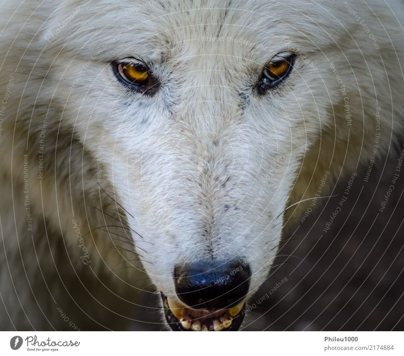 Kopf eines weißen Wolfes Gesicht Natur Tier Wildtier Hund Zoo 1 Blick Aggression natürlich wild gefährlich Hintergrund Canino Fleischfresser Lebewesen Gefahr