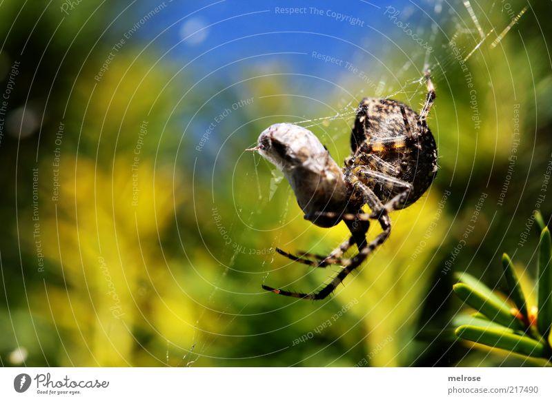 coconisiert Natur Himmel Schönes Wetter Sträucher Tier Spinne 1 Fressen hängen Jagd krabbeln natürlich blau braun gelb grün Farbfoto Außenaufnahme Nahaufnahme