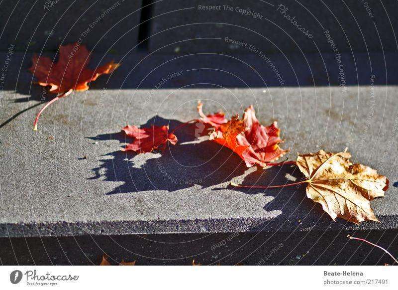 Der Herbst nähert sich stufenweise Natur Schönes Wetter Baum Blatt Treppe Wege & Pfade liegen alt ästhetisch trocken grau rot Klima Farbfoto Textfreiraum rechts