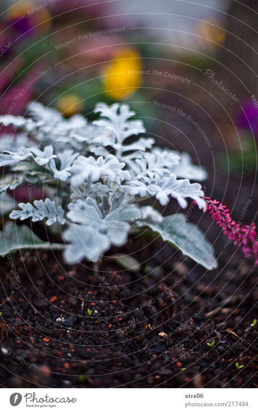 silberblatt Umwelt Natur Pflanze Blatt Farbfoto Außenaufnahme Nahaufnahme Abend Dämmerung Unschärfe Menschenleer Textfreiraum oben Textfreiraum unten