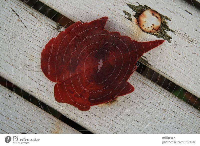 Efeublatt auf weißer Parkbank 3 Natur Pflanze rot ruhig dunkel Herbst Holz ästhetisch Wandel & Veränderung liegen Spitze Efeu Herbstlaub Parkbank dehydrieren Herbstfärbung