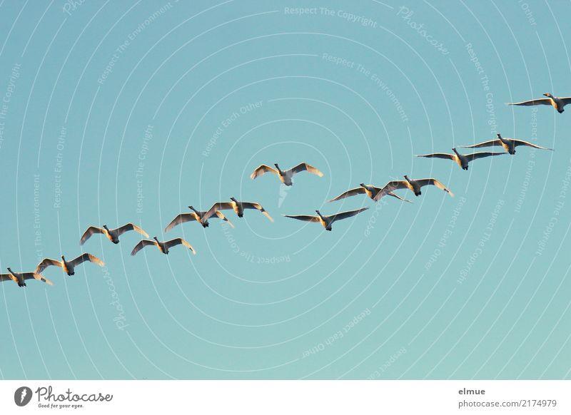 12,50 Singschwäne Natur Wolkenloser Himmel Herbst Insel Island Wildtier Schwan Singschwan Schwarm fliegen ästhetisch frei Zusammensein Unendlichkeit