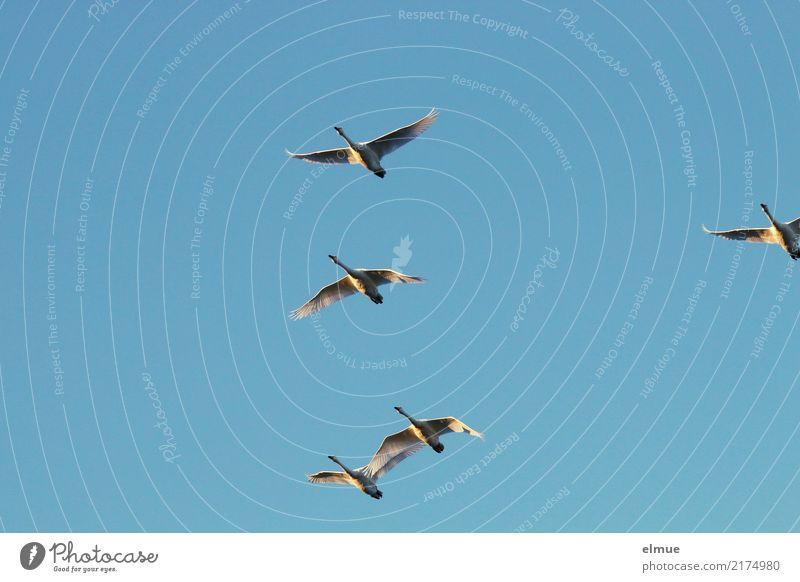 4,75 Singschwäne blau Tier Herbst Glück Freiheit fliegen Zusammensein hell frei elegant Luft ästhetisch Wildtier Kraft Insel Tiergruppe
